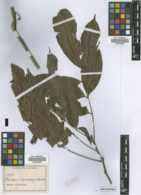 Syntype of Placodiscus glandulosus Radlk. [family SAPINDACEAE]