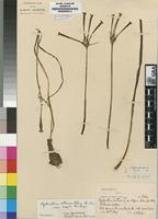 Type of Cyrtanthus stenanthus Baker var. stenanthus [family AMARYLLIDACEAE]