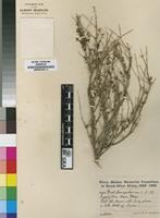 Lectotype of Zygophyllum tenue P.E.Glover [family ZYGOPHYLLACEAE]