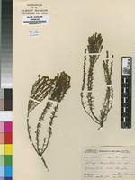 Isolectotype of Walafrida polystachya Rolfe [family SCROPHULARIACEAE]