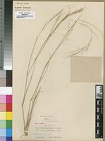 Type of Aristida graciliflora Pilg. [family POACEAE]