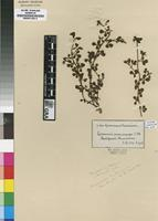 Isotype of Lotononis macrocarpa Eckl.&Zeyh. [family FABACEAE]