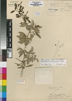 Isolectotype of Rhus spinescens Diels [family ANACARDIACEAE]