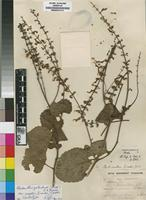 Lectotype of Plectranthus woodii G rke [family LAMIACEAE]