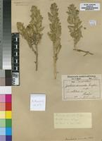Isotype of Justicia arenicola Engl. [family ACANTHACEAE]