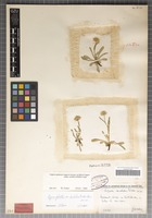 Holotype of Erigeron candidus Widder [family ASTERACEAE]
