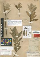 Lectotype of Oreodaphne vesiculosa Nees & Mart. [family LAURACEAE]