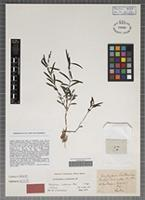 Isotype of Rhytiglossa lindeniana Nees [family ACANTHACEAE]