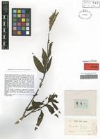 Type of Hypoëstes richardi Nees [family ACANTHACEAE]