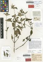 Syntype of Dicliptera sericea Nees [family ACANTHACEAE]