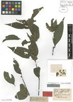 Syntype of Amphiscopia polystachya Nees [family ACANTHACEAE]