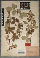 Holotype of Rubus appeninus Evers [family ROSACEAE]