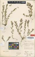 Type of Polygala alpicola Rupr. [family POLYGALACEAE]