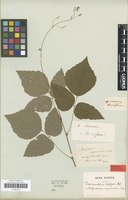 Original material of Desmodium scalpe DC. [family FABACEAE]