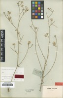 Type of Picris glaucescens DC. [family ASTERACEAE]