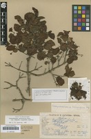 Isotype of Campomanesia littoralis D.Legrand [family MYRTACEAE]