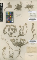 Original material of Alyssum lenense Adams [family BRASSICACEAE]