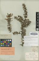 Isotype of Acacia oxycedrus Sieber ex DC. 1825 [family FABACEAE]