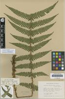 Isotype of Dryopteris affinis (Lowe) Fraser-Jenk. subsp. pontica Fraser-Jenk. [family DRYOPTERIDACEAE]