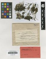 Holotype of Cladonia trassii Ahti [family CLADONIACEAE]