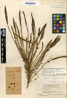 Holotype of Octomeria tridentata Ldl. [family ORCHIDACEAE]