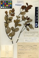 Holotype of Elaeodendron nipensis Bisse [family CELASTRACEAE]