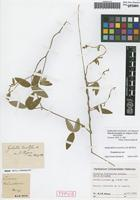 Holotype of Galactia brevistyla Schltdl. variety strigosa Schltdl. [family FABACEAE]