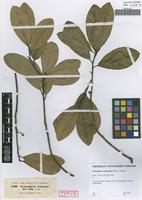 Type of Tetranthera celastroides Miq. ex Meisn. [family LAURACEAE]