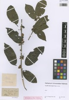 Original material of Lecythis microcarpa Poepp. [family LECYTHIDACEAE]