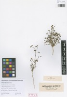 Syntype of Pimpinella arabica Boiss. [family APIACEAE]