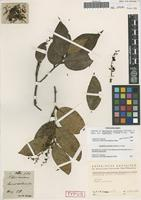 Isolectotype of Gaultheria acuminata Schltdl. & Cham. [family ERICACEAE]