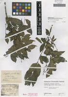 Holotype of Lacepedea pinnata Schiede [family STAPHYLEACEAE]