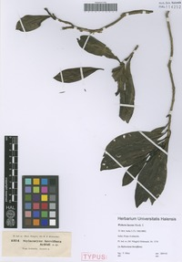 Syntype of Webera lucens Hook. f. [family RUBIACEAE]