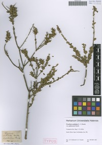 Syntype of Freylinia undulata (L. f.) Benth. variety pubescens Benth. [family SCROPHULARIACEAE]