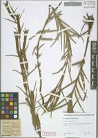 Type of Escobedia linearis Schltdl. [family SCROPHULARIACEAE]
