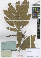 Type of Icica copal Schltdl. [family BURSERACEAE]