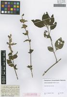 Original material of Justicia polymorpha Schltdl. [family ACANTHACEAE]