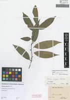 Isotype of Annona neglecta R. E. Fr. [family ANNONACEAE]