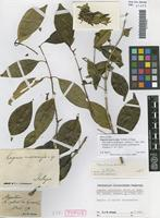 Syntype of Eugenia macrocarpa Schltdl. & Cham. [family MYRTACEAE]