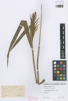 Syntype of Paspalum multispica Steud. [family POACEAE]