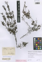 Original material of Dillwynia microphylla Sieber [family FABACEAE]