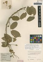Isolectotype of Clitoria schiedeana Schltdl. [family FABACEAE]