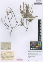 Syntype of Misodendrum lineare Poepp. & Endl. [family MISODENDRACEAE]