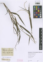 Syntype of Paspalum sieberianum Steud. [family POACEAE]