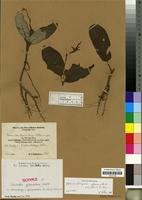 Isotype of Stenandriopsis afromontana (Mildbr.) R. Benoist [family ACANTHACEAE]
