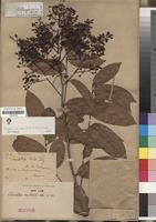Isotype of Ouratea australis Ule [family OCHNACEAE]