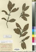 Isotype of Aspidostemon synandra Rohwer [family LAURACEAE]