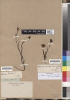 Filed as Chironia linoides L. [family GENTIANACEAE]