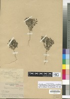 Isotype of Polycarena hispidula Thell. [family SCROPHULARIACEAE]