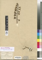 Isolectotype of Corallorhiza macrantha Schltr. [family ORCHIDACEAE]